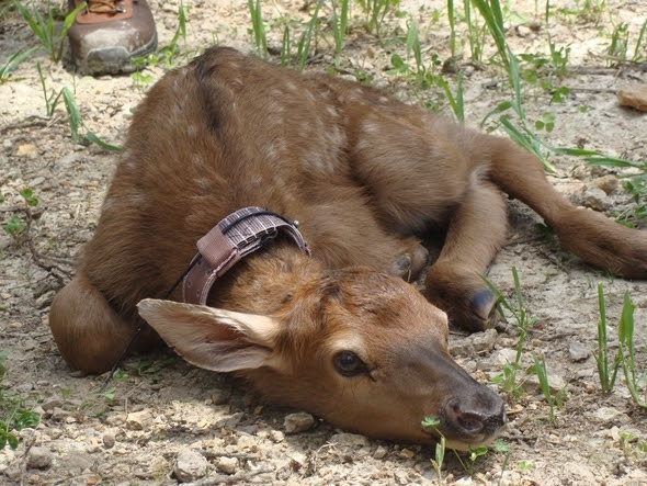 A baby elk still with spots, like this one, was poached in Shannon County. MDC needs help catching the poacher. (This was not the poached elk). Photo courtesy of MDC